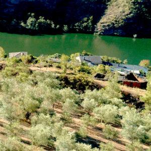 Quiroga y Ribas de Sil, el olivo